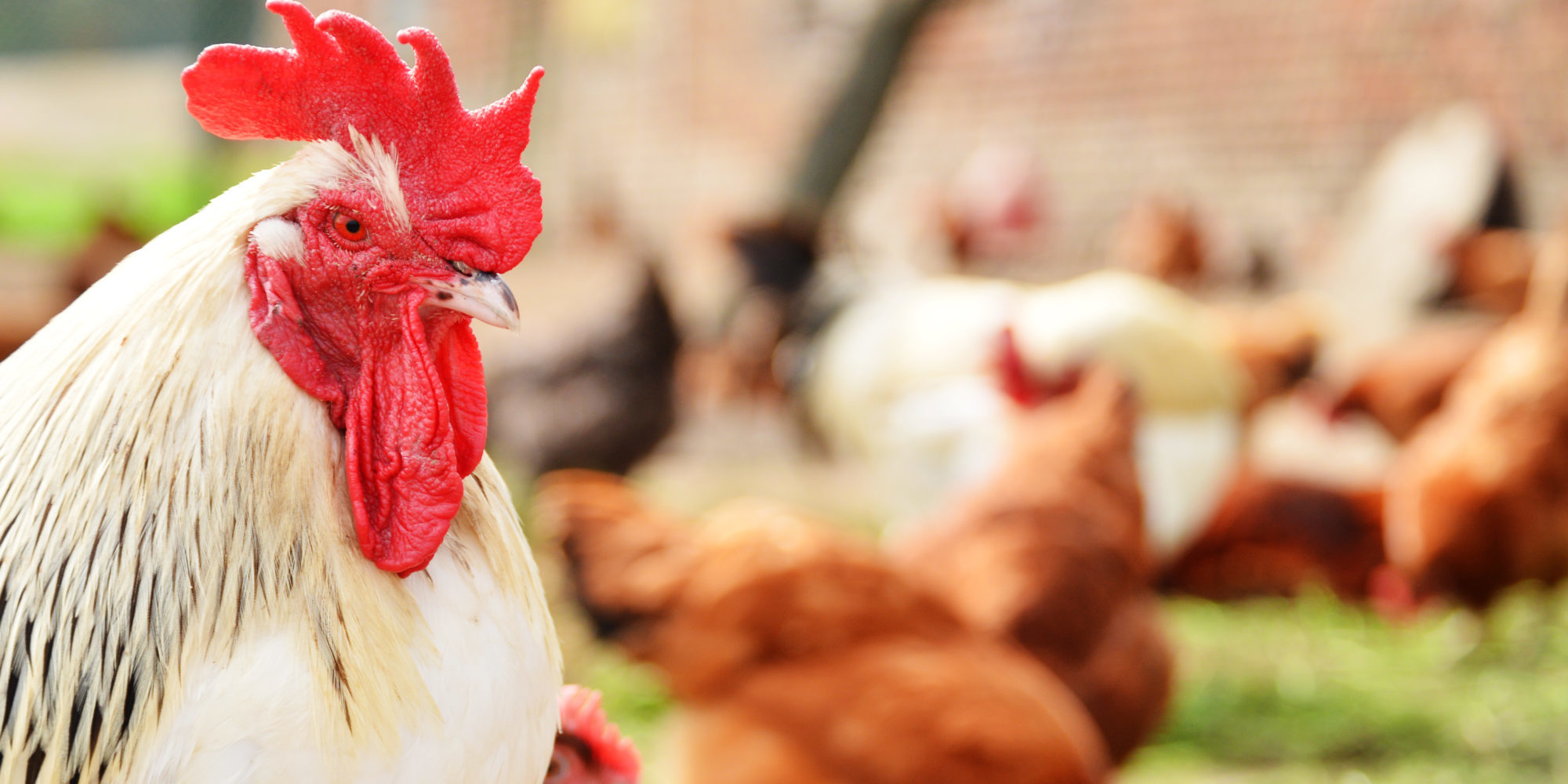 Strong Organic and Non-GMO Broiler Sales Incentivize Investment