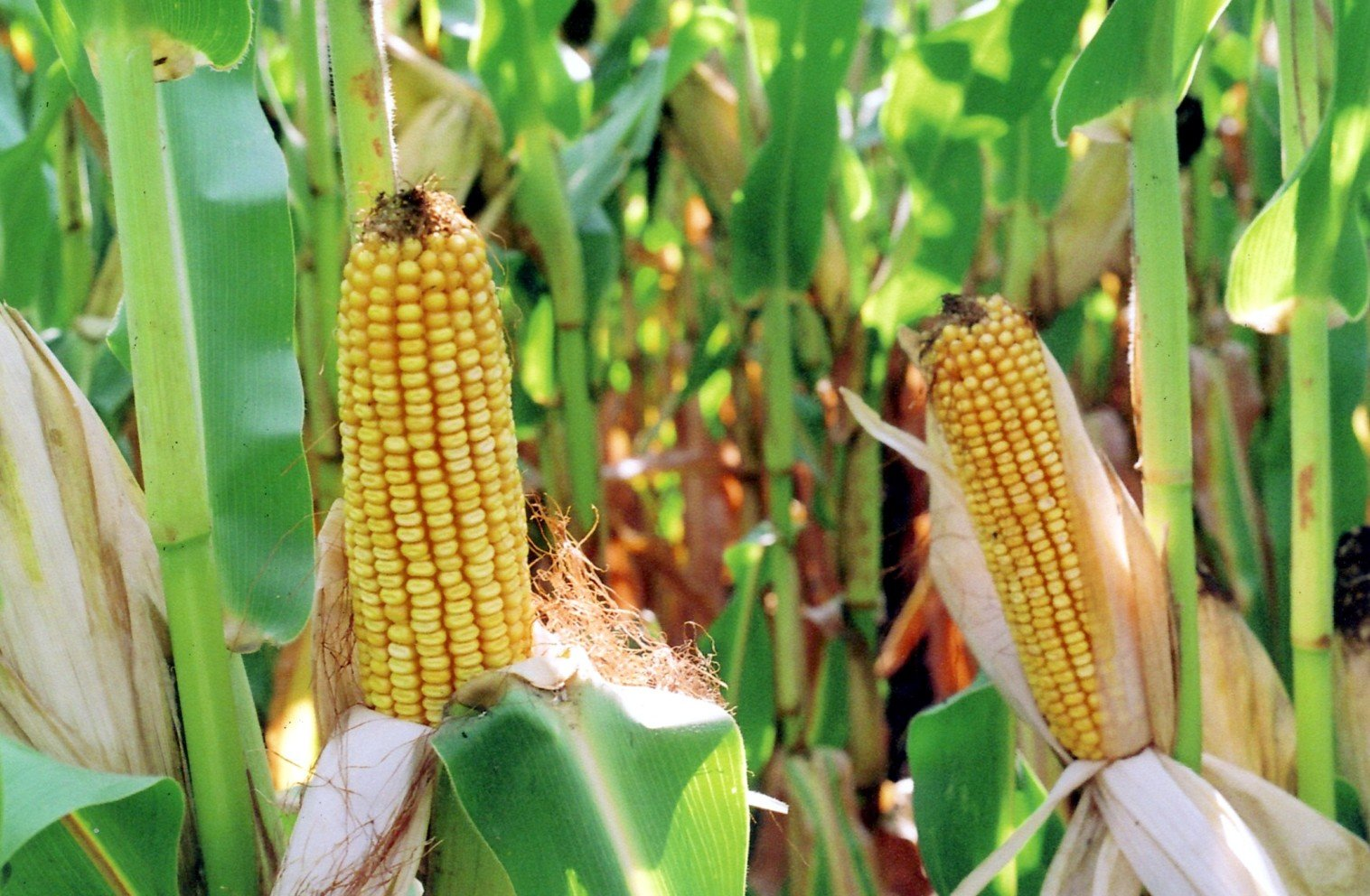 Corn and Wheat Export Sales Power Higher