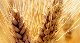 Organic Wheat Prices Stabilize Buoyed by Organic Wheat Breat Revenues