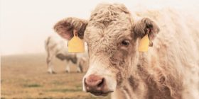 Cattle Slaughter Forecast Higher Ahead of July 4 Holiday