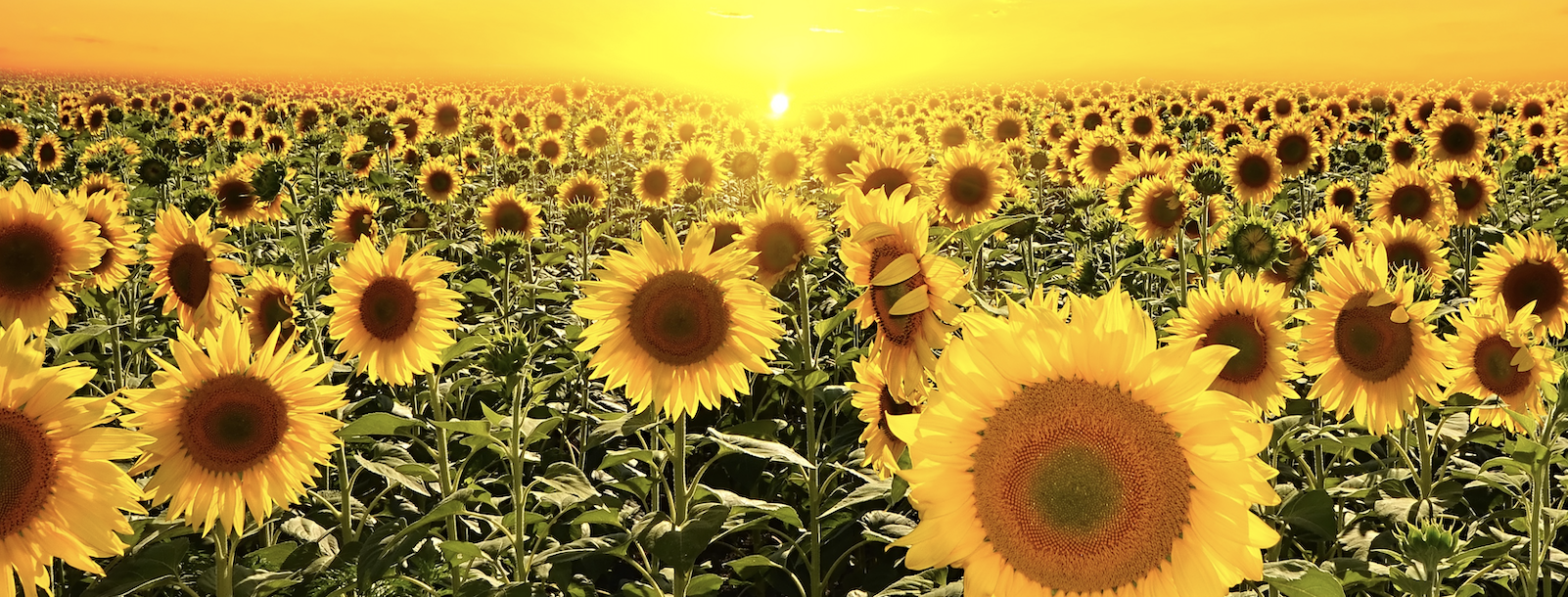 Sunflower Oil Prices