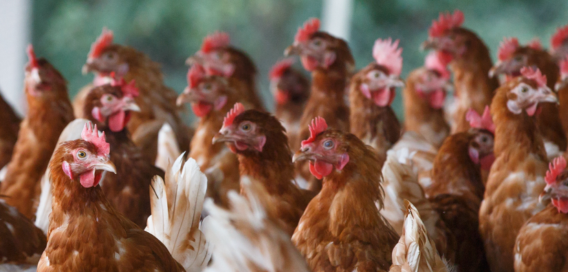 Organic Poultry Demand Remains Strong